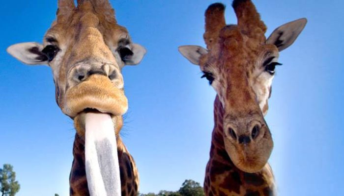 Cheeky giraffe at the Western Plains Zoo is just a day trip from Girragirra